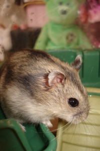 my adorable pet hamster named Hikari