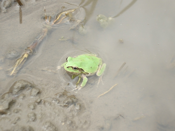 close up of the bright green frog