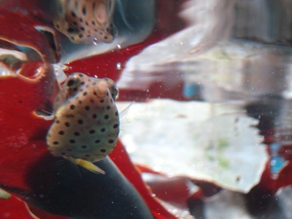 baby Box Fish!